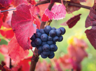 Dark grapes hanging from a vine with bright red leaves