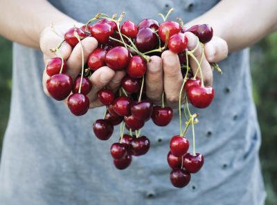 Farmer's hands holding freshly picked cherries